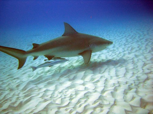 Bull shark Playa del Carmen (credit photo Andrea) :-)