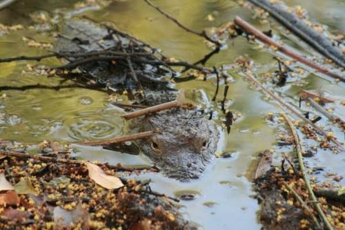 ah! ça je sais! c'est un crocodile! lol