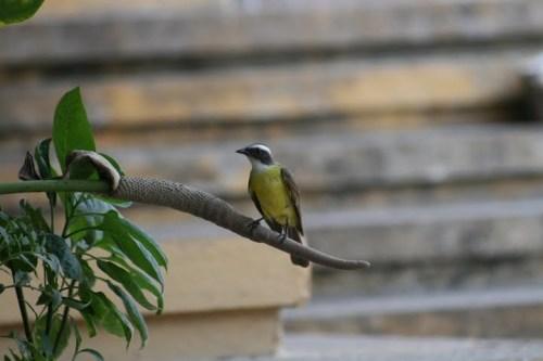 oiseau Tikal